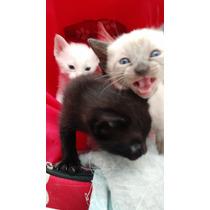 Gato Siames Cinza Com Olho Azul