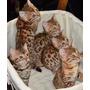 Gato Bengal - Linhagem Exclusiva ! Ninguém Vende Igual !