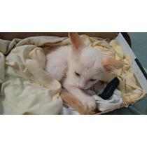 Gato Siamês Branco Grátis