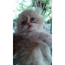 Filhote De Gato Persia Femea C/ 65 Dias