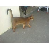 #### Gato Abissinio ####