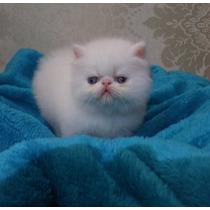 Filhote De Gato Persa - Himalaio Cream Point