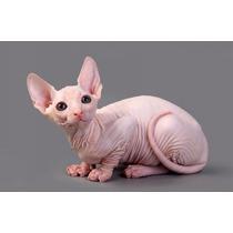 Filhotes Sphynx - Gatos Elegantes!
