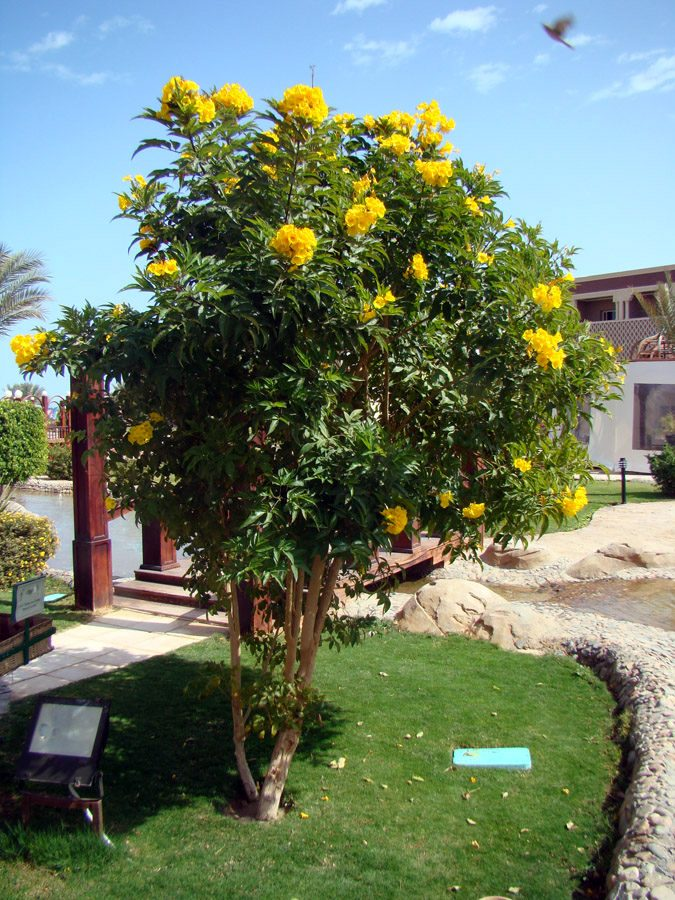 kobold o anao de jardim : kobold o anao de jardim:Ipê Mirim Anão De Jardim Sementes Flor Para Mudas – R$ 7,99 no