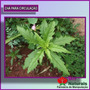Chá Para Circulação Uma Combinação De Ervas Medicinais- 265*