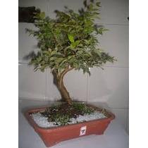 Pré Bonsai De Jabuticabeira. 3 Anos Sabará *bonsai Junior*