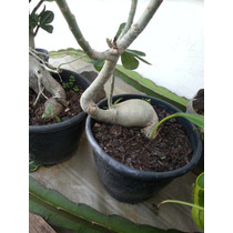 Rosa Do Deserto.4 Anos.caudex Gordo.ideal P/ Bonsai. Da Foto
