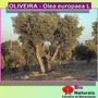 Pó De Oliveira Emagrecedor Natural - 100 Gramas - 197*