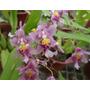 Orquídea Miltonidium Ruffles Adulta Cacho De Flores Rosas