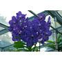 Orquídea Vanda Azul Adulta+ Cachepo Caixa De Madeira Durável
