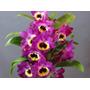 Linda Orquídea Dendrobium Nobile Adulta Linda Planta