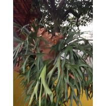 Muda De Samambaia Chifre De Veado (platycerium Bifurcatium)