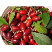 Muda De Fruta Do Milagre *produz Em Meses* Exótica E Rara.