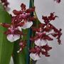 Linda Orquídea Oncidium Chocolate - Sharry Baby
