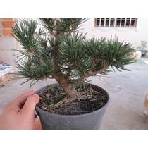 Bonsai De Pinheiro Negro *tronco Tortuosos* 5 Anos.bonsai Jr