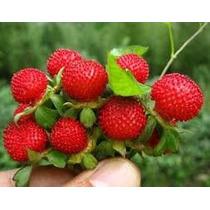 Muda De Morango Indiano *produz Em Meses* Vasos E Jardim