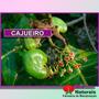 Chá De Cajueiro - Combate Inflamações Vaginais (banho) - 41*