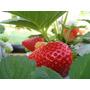 Nutrientes Para Morango Hidroponico Fruto Premium 1.000l