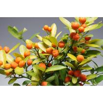 Bonsai De Mini Laranja Kinzu C/ Frutos. Raro *bonsai Junior*