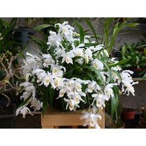 Orquídea Branca De Neve Coelogyne Cristata Adulta Flores