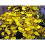 Muda De Orquídea Oncidium Flexuosum - Chuva De Ouro