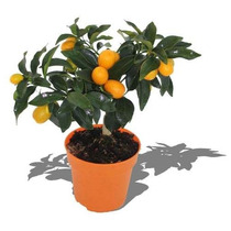 Mudas De Laranja Kinkan C/ Frutos. Super Doce. Bonsai Junior