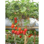 300 Litros Kit Nutriente Morango E Tomate Hidroponia