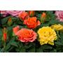 5 Mudas Mini Rosas Sortidas