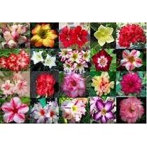 100 Sementes Rosa Do Deserto Mix Adenium Obesum Mudas