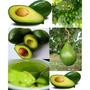 Mudas Enxertadas - Mudas De Alporquia - Abacate Produzindo