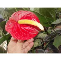 Antúrio Vermelho - Natural - Cultivo Próprio