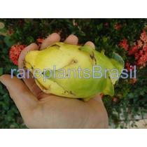Muda De Pitaya Amarela Sem Espinho - Fruta Rara