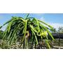 Pitaya Vermelha - Mudas Pitaya - Kit Com 10 Mudas