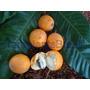 Muda Frutífera De Abiu Piloso - Rara E Deliciosa Fruta