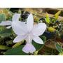 Cattleya Walkeriana (kit 2 Cores: Caerulea + Flamea)