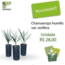 Mudas De Chamaerops Humilis Var Cerifera