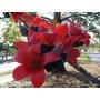 Muda De Paineira Africana Vermelha - Rara Ornamental Exótica
