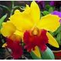 Só Orquideas Cattleyas Especiais