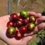 Mudas De Jabuticaba Vermelha - 1,8m (enxertadas) Já Produz