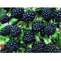 Muda De Amora Preta Blackberry- Altamente Produtiva-