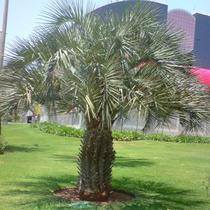 Mudas De Palmeira Butiá Da Serra - 40cm Altura