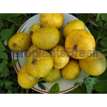 Muda Frutífera De Guabiroba Gigante - Fruta Rara E Deliciosa