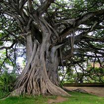 Mudas De Figueira Branca Ou Gameleira - Árvore Ornamental