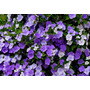 Muda De Manacá De Jardim (brunfelsia Calycina) -tricolor