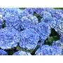 Muda De Hortênsia- Azul E Roxo