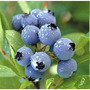 10 Sementes De Blueberry + Frete R$ 5,00 Carta Registrada
