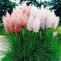 Sementes De Capim Ornamental Pampas Grass