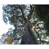 Jequitiba Gigante - Sementes Arvore Nativa P/ Mudas E Bonsai