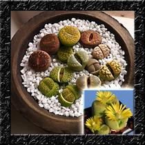 Sementes De Cacto Pedra Lithops Super Mix P/ Mudas
