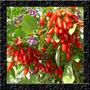 Goji Berry Do Tibet Lycium Chinense 50 Sementes Para Mudas